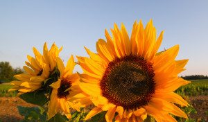 sunflower-positivity