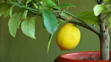 grow lemons