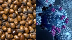 can acorns fight throat cancer?