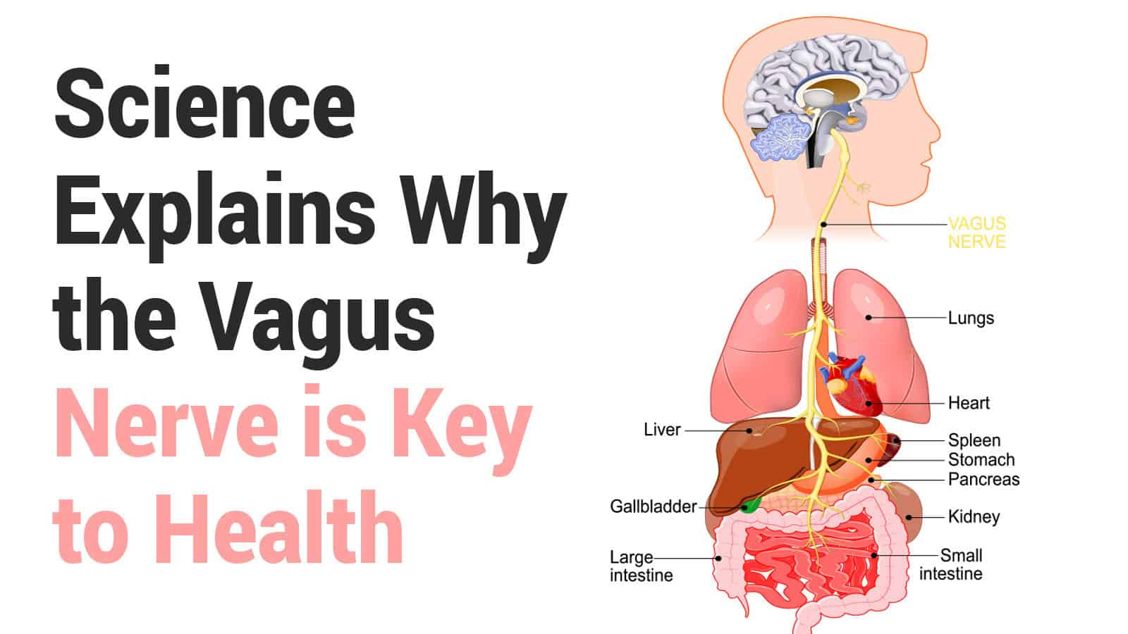 Science Explains Why the Vagus Nerve is Key to Health