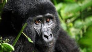 endangered species mountain gorilla