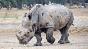 endangered species rhino