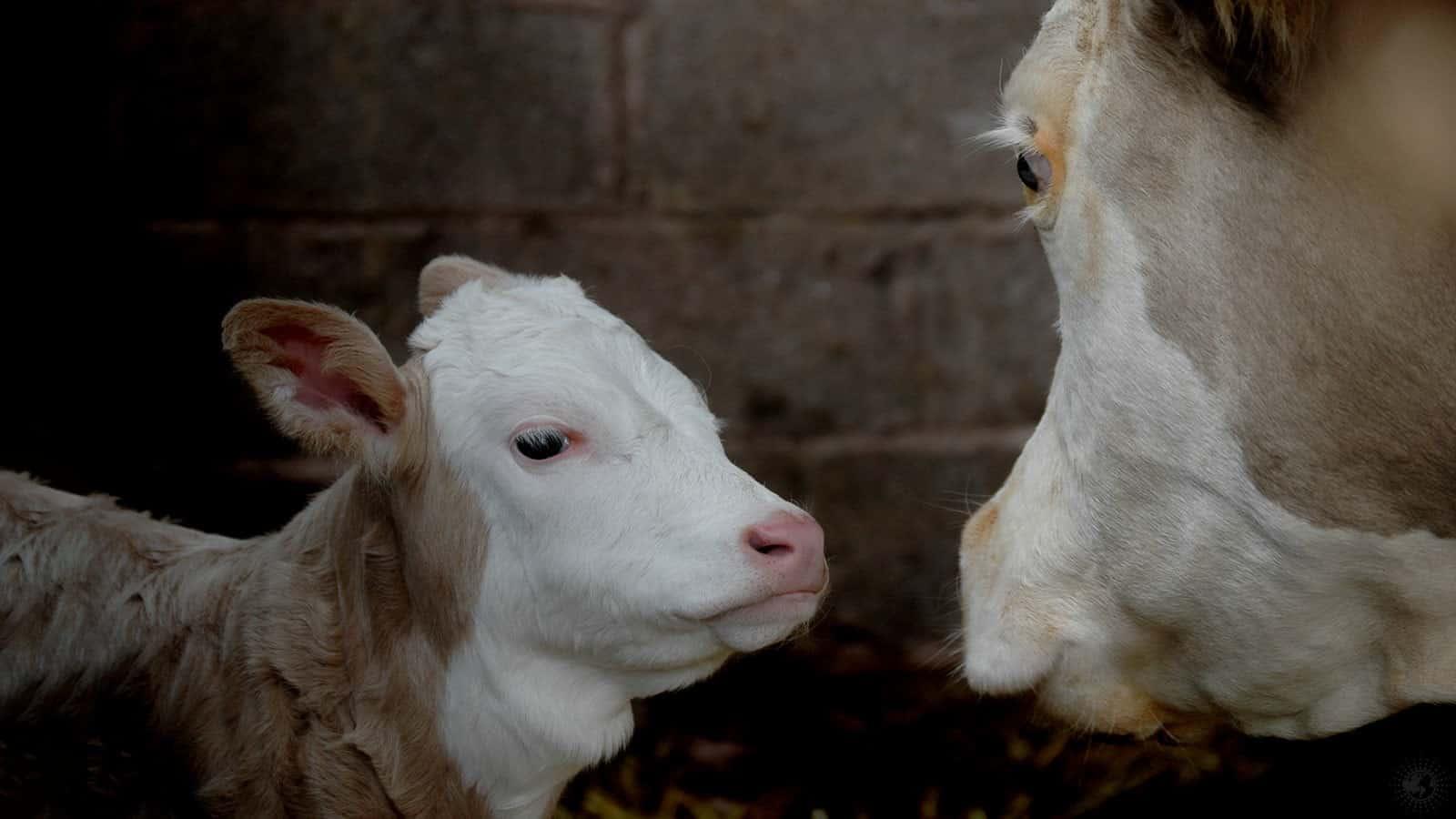 cows talk