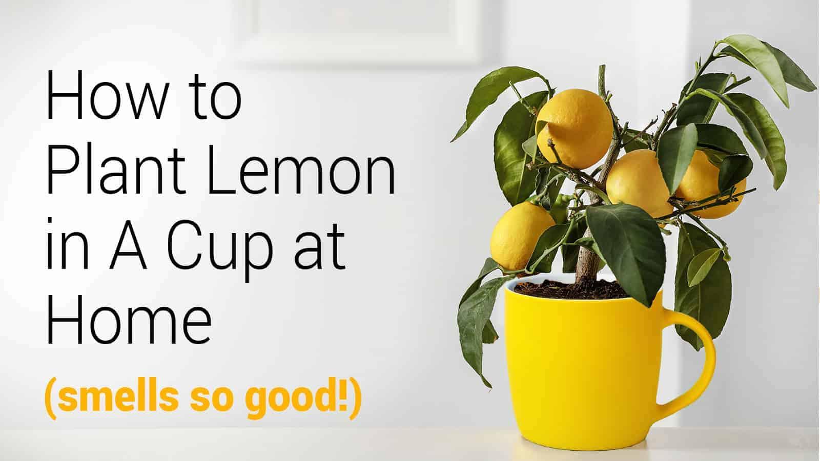 plant lemon