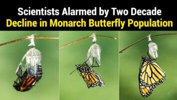 monarch butterfly population