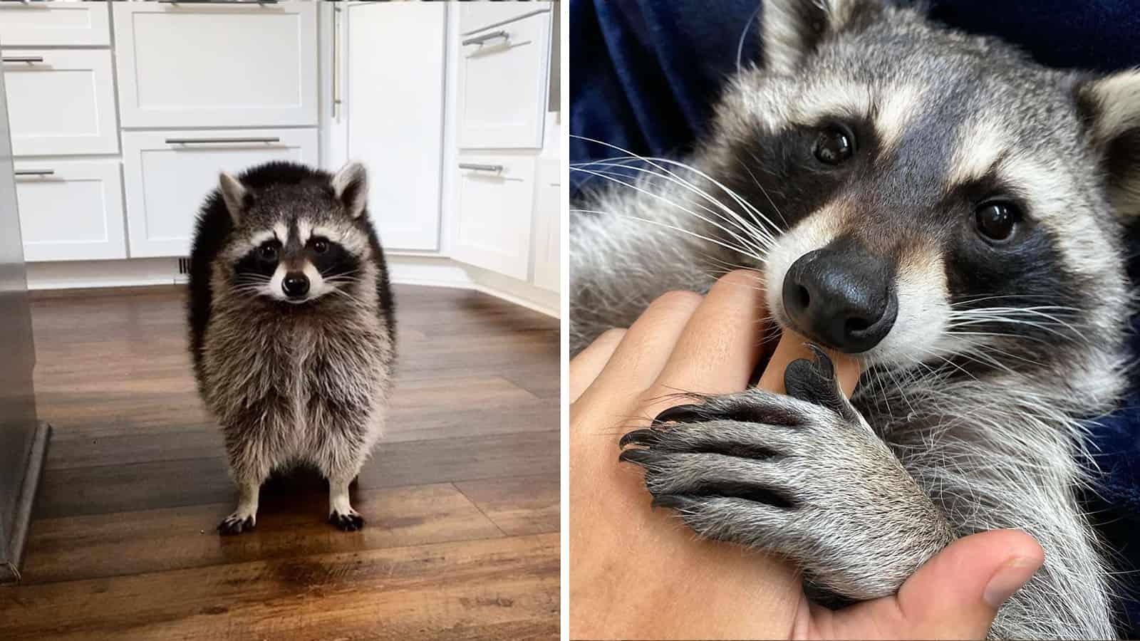 rescues raccoon